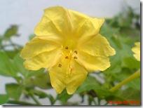 bunga pukul 4 kuning 2271