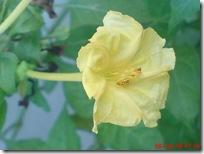 bunga pukul 4 kuning 2428
