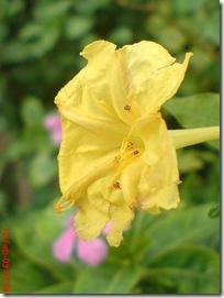 bunga pukul 4 kuning 2779