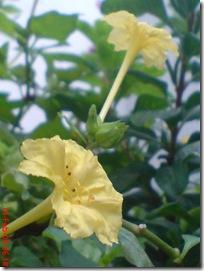 bunga pukul 4 kuning 2819