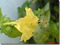 bunga pukul 4 kuning 2902