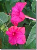 bunga pukul 4 merah 3367