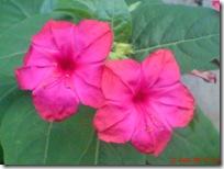 bunga pukul 4 merah 3374