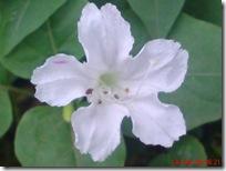 bunga pukul 4 putih 2821