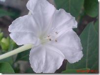 bunga pukul 4 putih 2823