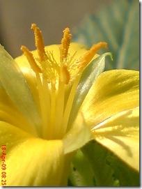 bunga pukul delapan kuning 02