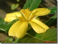 bunga pukul delapan kuning 04