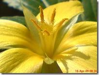 bunga pukul delapan kuning 05