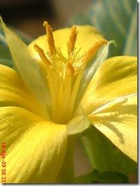 bunga pukul delapan kuning 07