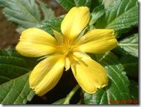 bunga pukul delapan kuning 08