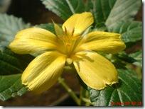 bunga pukul delapan kuning
