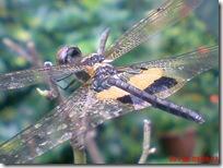 capung dengan sayap berwarna kuning hitam 03