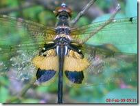 capung dengan sayap berwarna kuning hitam 04