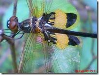 capung dengan sayap berwarna kuning hitam 05