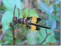 capung dengan sayap berwarna kuning hitam 06