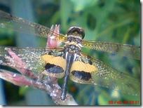 capung dengan sayap berwarna kuning hitam 08