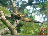 capung dengan sayap berwarna kuning hitam 09