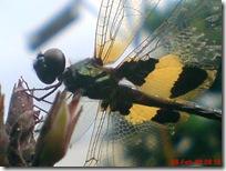 capung dengan sayap berwarna kuning hitam 10