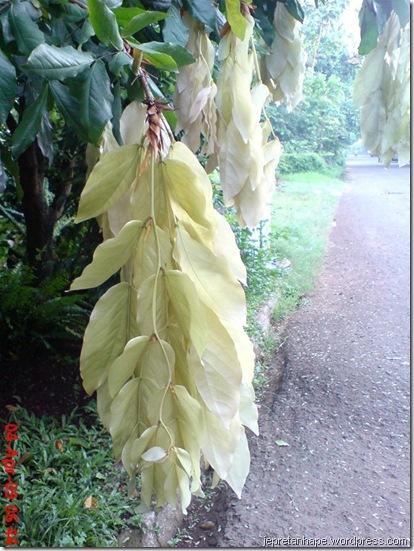 daun muda seperti bunga 03