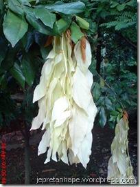 daun muda seperti bunga 04