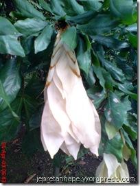 daun muda seperti bunga 05