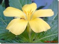 kembang pukul delapan kuning