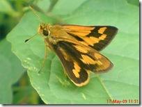 ngengat atau kupu-kupu 03
