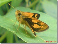 ngengat atau kupu-kupu 04