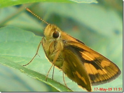 ngengat atau kupu-kupu 05