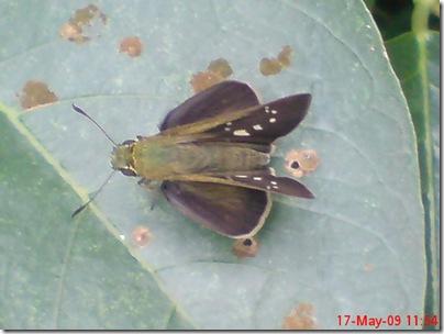 ngengat atau kupu-kupu 07