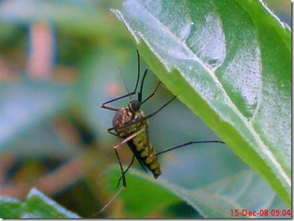 nyamuk kebun 01