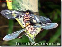 serangga kawin lagi 02