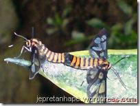 serangga kawin lagi 07
