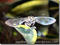 serangga kawin lagi 08