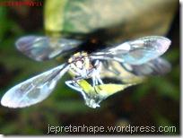 serangga kawin lagi 09