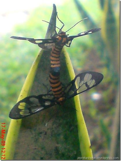 serangga kawin lagi 10