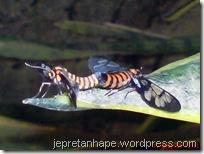 serangga kawin lagi 12