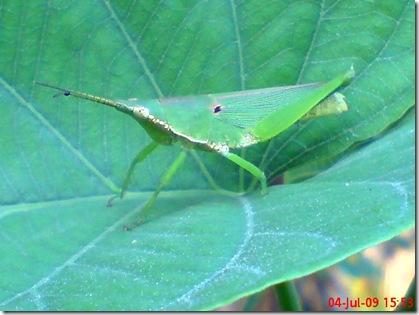 belalang berkaki 3