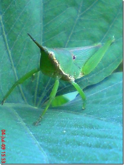 belalang berkaki 3c