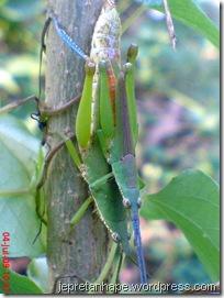 belalang kawin 03