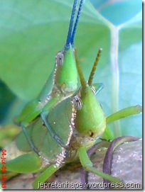 belalang kawin 07