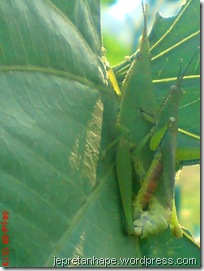 belalang kawin 09