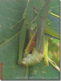 belalang kawin 11