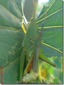 belalang kawin 12