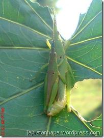 belalang kawin 16