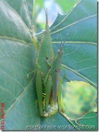 belalang kawin 17