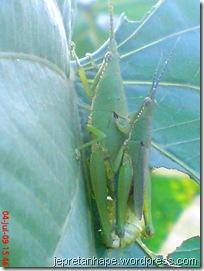 belalang kawin 18