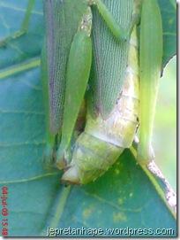 belalang kawin 21