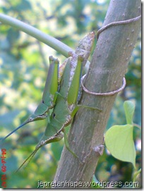belalang kawin