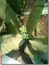 bunga lidah mertua 06